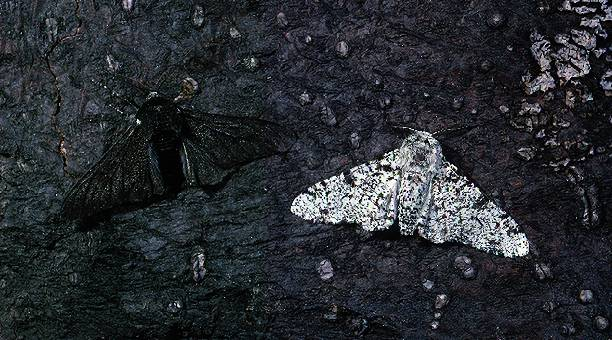 Peppered moth pic